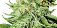 White Label Seeds - Northern Lights Automatic cannabis seeds