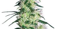White Label Seeds - Purple Haze cannabis seeds