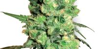 White Label Seeds - Super Skunk cannabis seeds