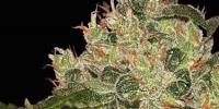 World of Seeds - Afghan Kush cannabis seeds