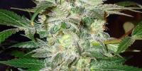 World of Seeds - Mazar Kush cannabis seeds