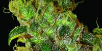 World of Seeds - Northern Light x Skunk cannabis seeds