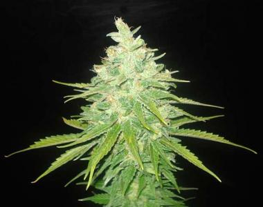 World of Seeds - Afgan Kush x Black Domina cannabis seed