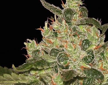 World of Seeds - Afghan Kush cannabis seed