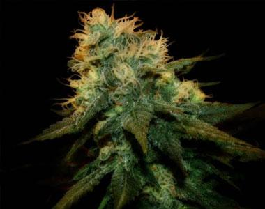 Genehtik Seeds - Northern Lights X cannabis seed