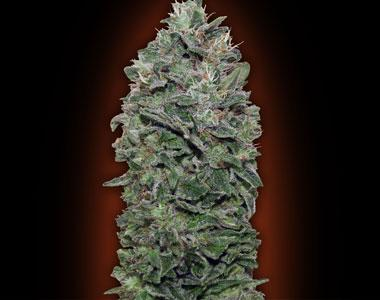 OO Seeds - Sweet Soma cannabis seed
