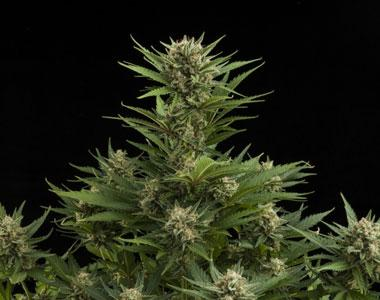 Royal Queen Seeds - Sweet Skunk Auto cannabis seed
