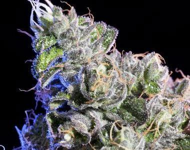 Elemental Seeds - Huckle Berry cannabis seed