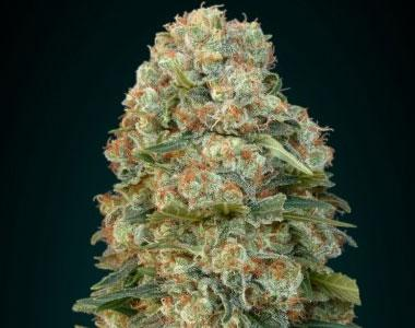 Advanced Seeds - Afghan Skunk Auto cannabis seed