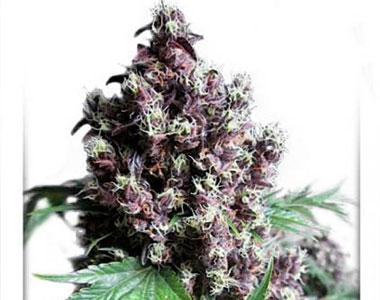 Dutch Passion - Frisian Duck cannabis seed