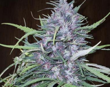 Ace Seeds - Golden Tiger cannabis seed