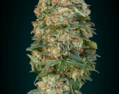 Advanced Seeds - Afghan Skunk cannabis seed