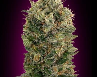 Advanced Seeds - Black Diesel Auto cannabis seed