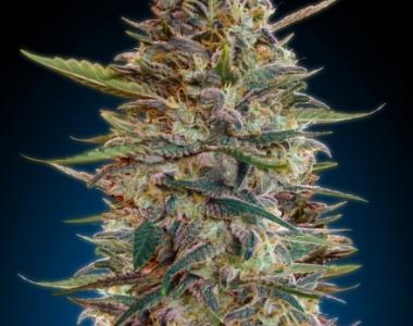 Advanced Seeds - Blue Diesel Auto cannabis seed