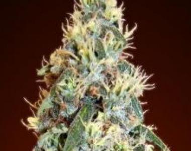 Advanced Seeds - Auto Jack Herer cannabis seed