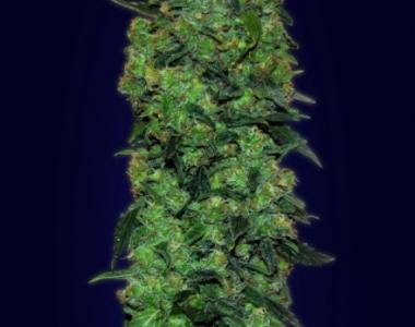Advanced Seeds - Skunk Mass Auto cannabis seed
