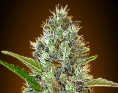 Advanced Seeds - Somango Auto cannabis seed