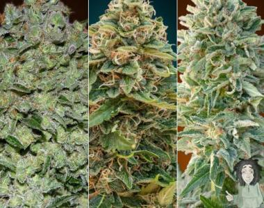 Advanced Seeds - Feminised Collection #2 cannabis seed
