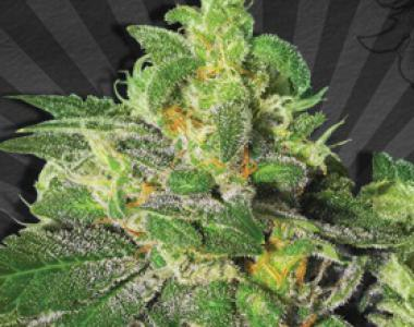 Auto Seeds - Ultra Lemon Haze cannabis seed
