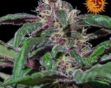 Barneys Farm - Ayahuasca Purple cannabis seed