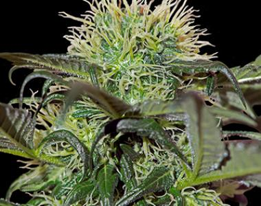 Barneys Farm - Bad Azz Kush cannabis seed