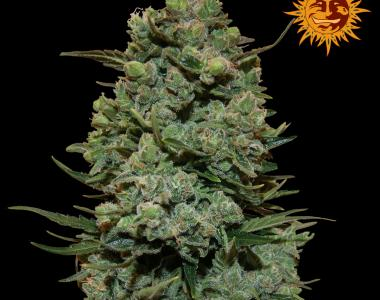 Barneys Farm - Cookies Kush cannabis seed