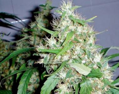 Barneys Farm - Auto Critical Kush cannabis seed