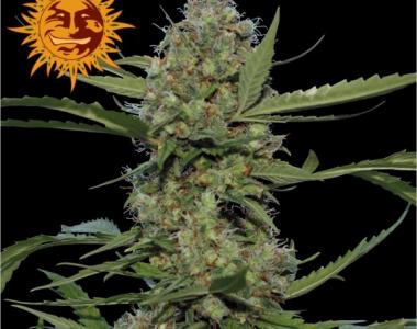 Barneys Farm - Laughing Buddha cannabis seed