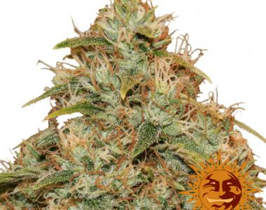 Barneys Farm - Lemon Potion CBD Auto cannabis seed