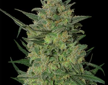 Barneys Farm - L.S.D. cannabis seed