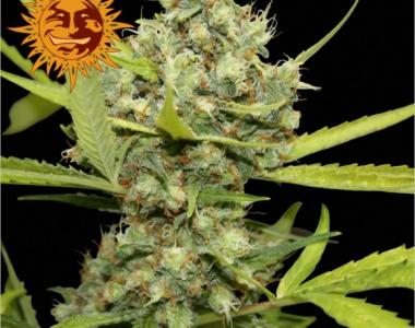 Barneys Farm - Pineapple Chunk cannabis seed