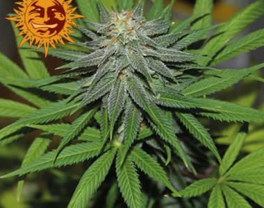 Barneys Farm - Pineapple Express Auto cannabis seed