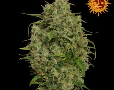 Barneys Farm - Sweet Tooth cannabis seed