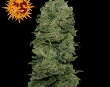 Barneys Farm - Top Dawg cannabis seed