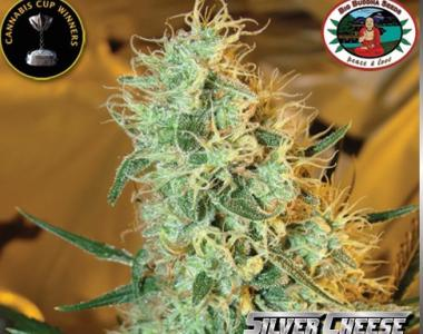 Big Buddha - Silver Cheese cannabis seed