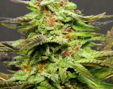 Big Head Seeds - Julies Cookies cannabis seed