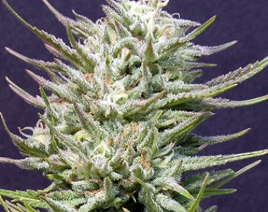 Big Head Seeds - Big Freeze cannabis seed
