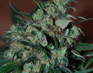 Black Skull - Power Bud cannabis seed