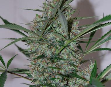 Black Skull - Auto Speed Haze cannabis seed