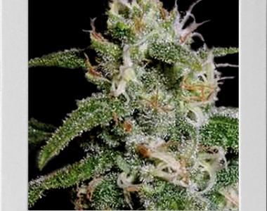 Blimburn Seeds - Cindy 99 cannabis seed