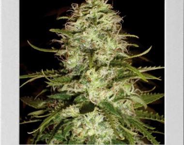 Blimburn Seeds - Critical + cannabis seed