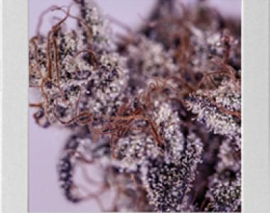 Blimburn Seeds - Girl Scout Cookies cannabis seed