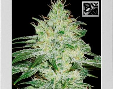 Blimburn Seeds - Orient Automatic cannabis seed
