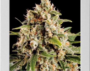 Blimburn Seeds - Orka cannabis seed