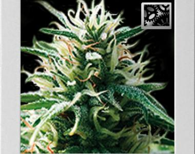 Blimburn Seeds - Sweet Automatic cannabis seed