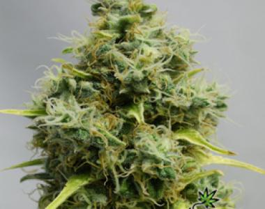 Bomb Seeds - Atomic cannabis seed