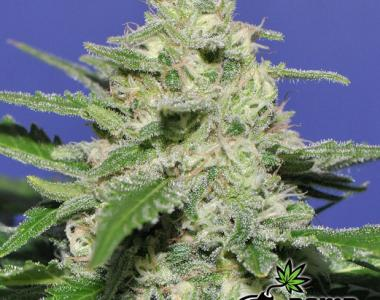 Bomb Seeds - Widow Bomb cannabis seed