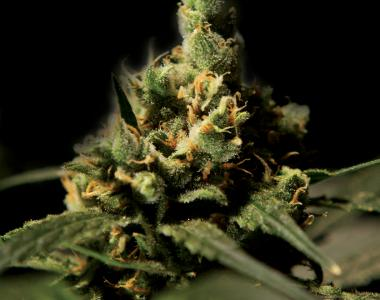 Bulldog Seeds - Citral Skunk cannabis seed