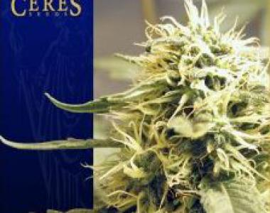 Ceres Seeds - Ceres Kush cannabis seed