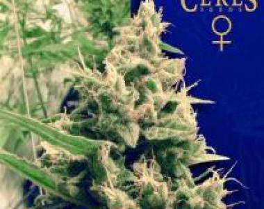Ceres Seeds - Hollands Hope cannabis seed